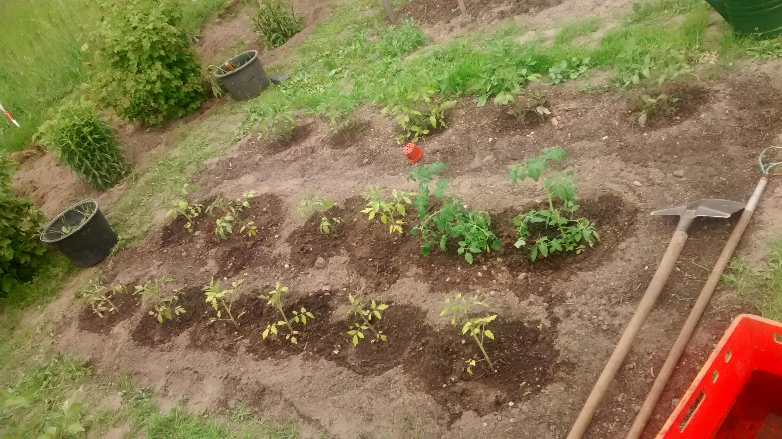 Tomaten235